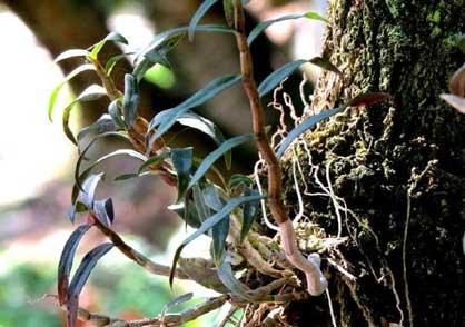 铁皮石斛不长叶子图片
